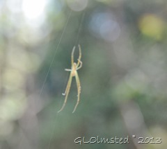 Spider in web across Big Tree trail Wild Spirit Nature's Valley SA