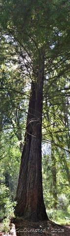 CA Redwood Hogsback Arboretum SA