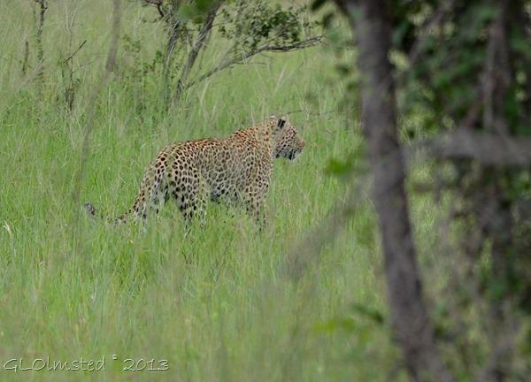 Leopard Kruger NP SA