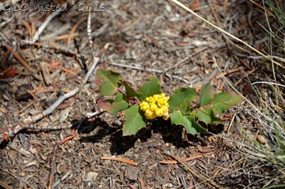 Flowering Oregon Grape
