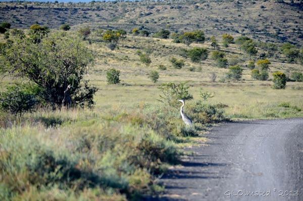 Gray Heron Mt Zebra NP Eastern Cape SA