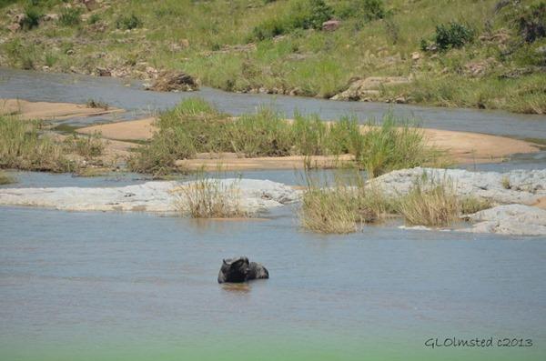 Buffalo in river Kruger NP SA