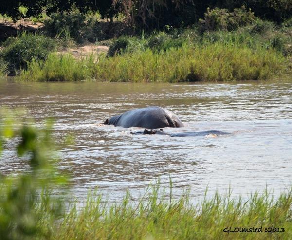Hippopotamus Kruger NP South Africa