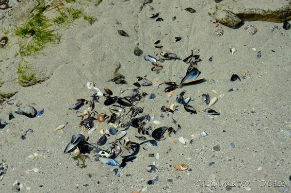 Shells on beach West Coast NP Langebaan SA