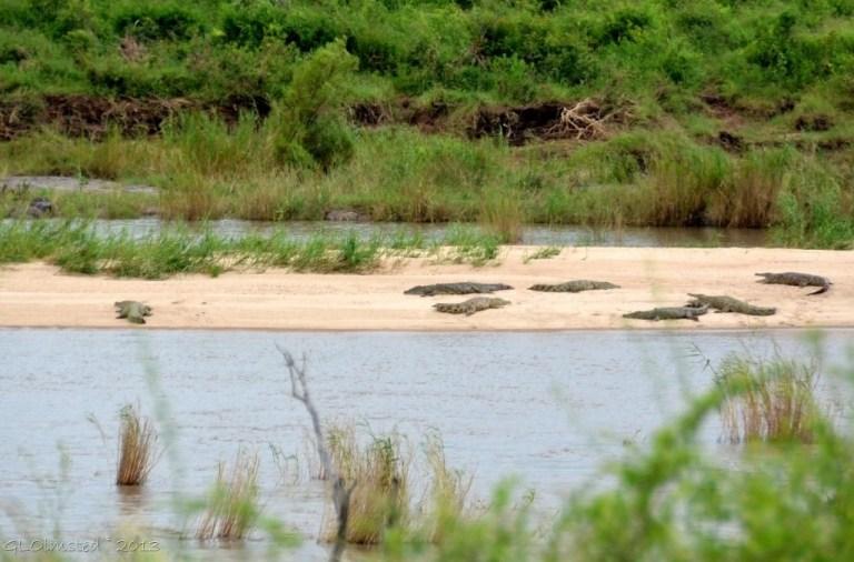 Crocodiles on sandbank Kruger NP SA