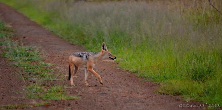 Black-backed Jackal Kruger NP SA