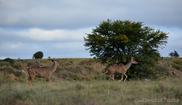 Kudus Mountain Zebra National Park Eastern Cape South Africa