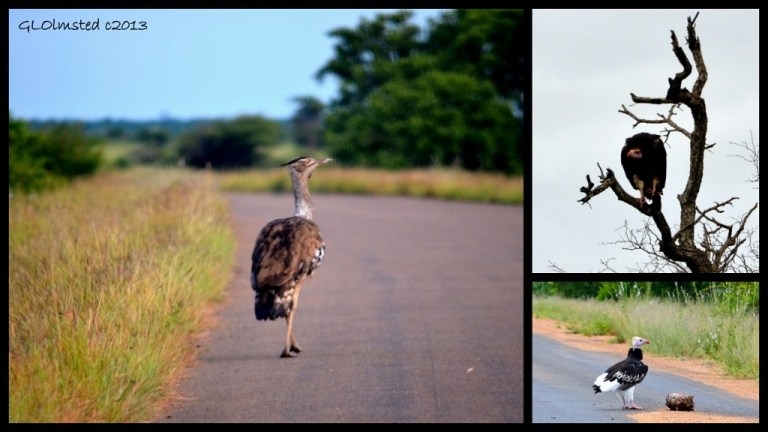 Kori Bustard, Lappet-faced Vulture and White-headed Vulture of Kruger National Park South Africa