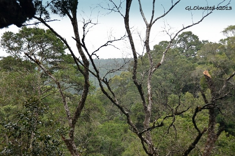 Looking across forest from platform Tsitsikamma Canopy Tour Storms River South Africa