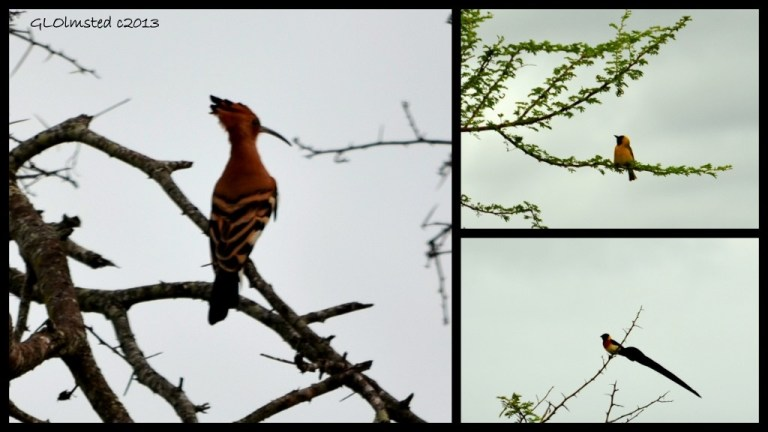 African Hoopoe, Lesser Masked Weaver and Long-tailed Paradise Whyah of Kruger National Park South Africa