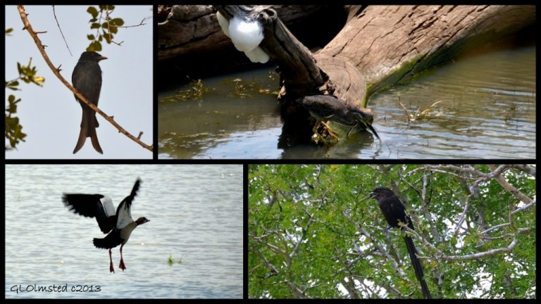 Forked-tailed Drongo, Green-backed Heron, Magpie Shrike and Egyptian Goose of Kruger National Park South Africa