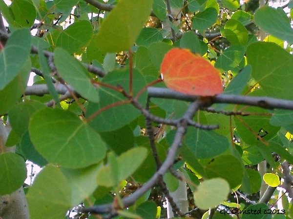 Red aspen leaf against the green Kaibab National Forest Arizona