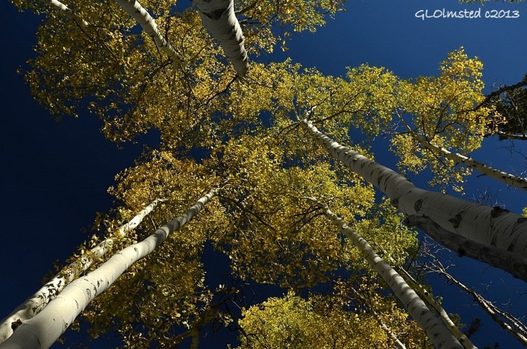 Looking up at golden aspen Kaibab National Forest Arizona