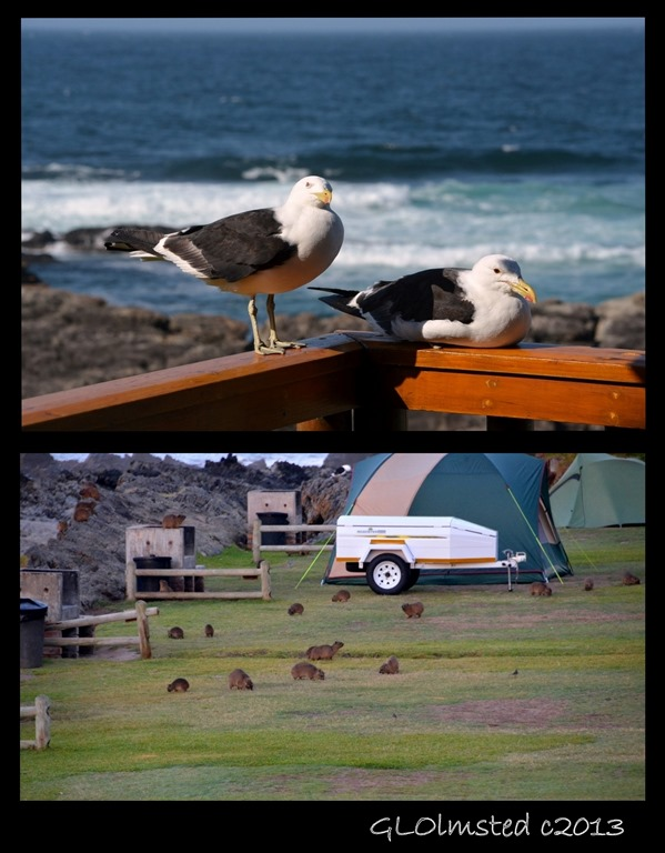 Gulls & dassies Storms River Mouth Tsitsikamma National Park South Africa