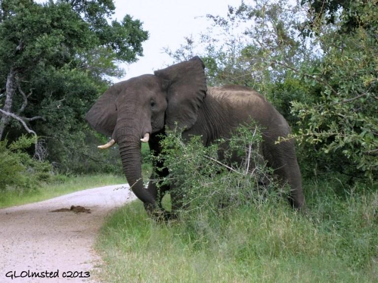 Elephant Kruger National Park Mpumalanga South Africa