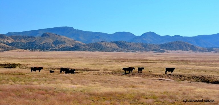 Cattle along Perkinsville Road Arizona