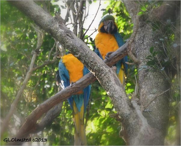 Macaws at Birds of Eden Plattenberg Bay South Africa