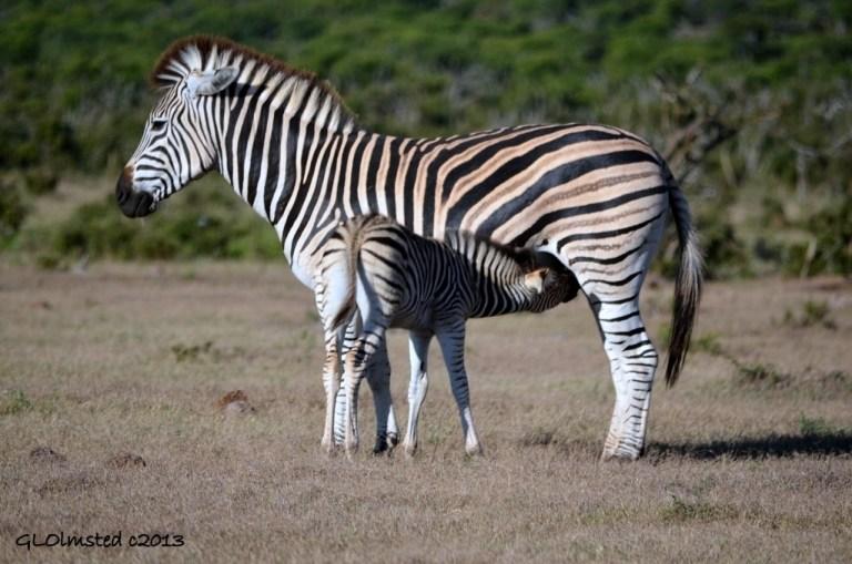 Zebras Addo Elephant National Park South Africa
