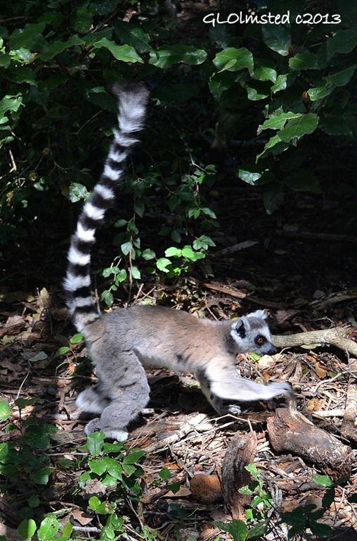 Ring tailed Lemur at Monkeyland Plattenberg Bay South Africa