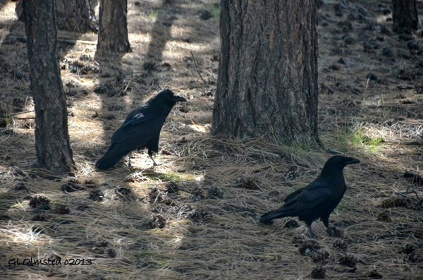 Ravens North Rim Grand Canyon National Park Arizona