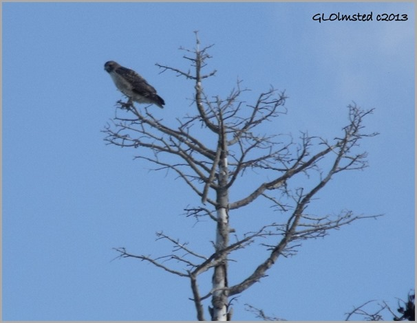 Swainson's Hawk in tree along SR67 Kaibab National Forest Arizona