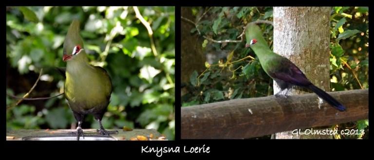 Knysna Loerie Birds of Eden Plattenberg South Africa