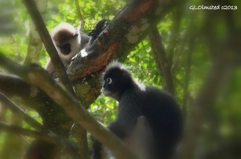 Hanuman langur & Spectacled Langur Monkeyland Plattenberg Bay South Africa