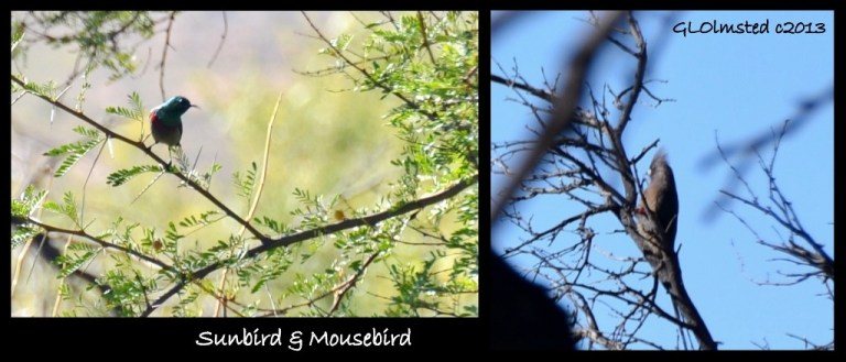 Sunbird & Mousebird along trail Warmwaterberg Spa Barrydale South Africa