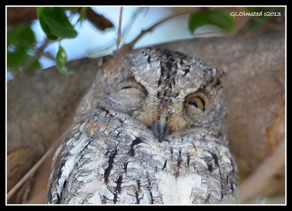 Scops owl Kruger National Park South Africa