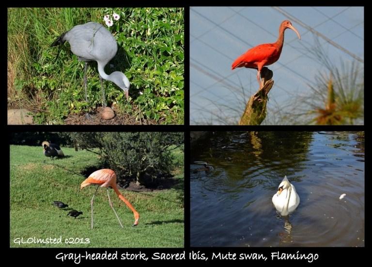 Gray-headed stork, Sacred ibis, Mute swan, Flamingo Birds of Eden Plattenberg South Africa