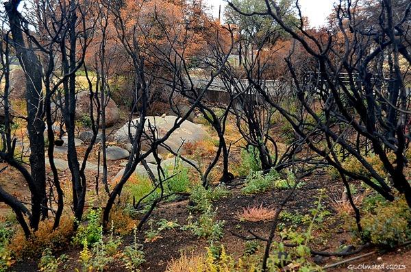 Burnt trees Yarnell Arizona