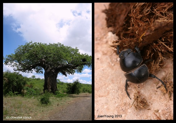 Baobab & beetle diversity South Africa