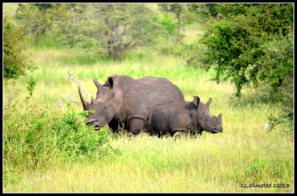 Rhinos Kruger National Park South Africa