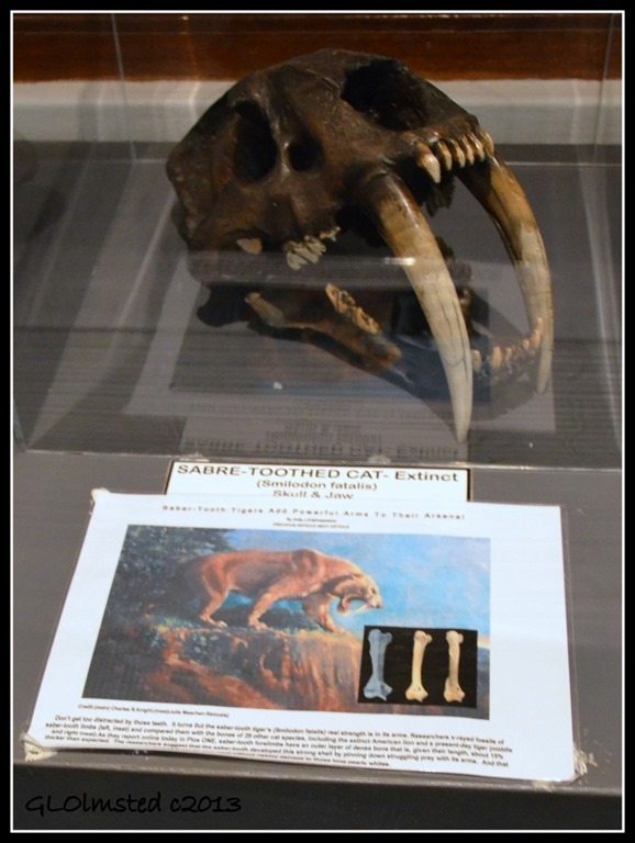 Sabre toothed cat skull Fossil Park Langebaan South Africa