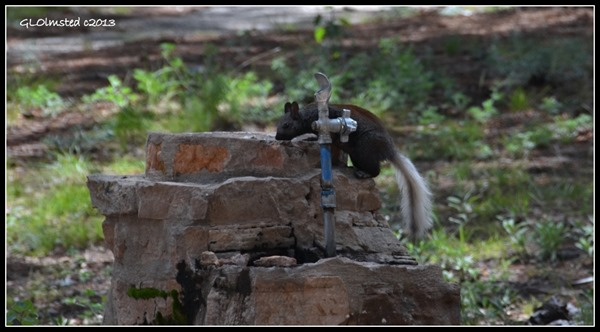 Kaibab squirrel at fountain North Rim Grand Canyon Nationa Park Arizona