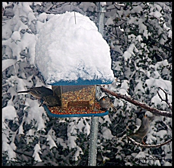 Sparrows on snow covered feeder Yarnell Arizona