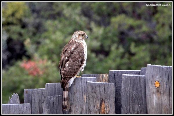 Immature Coopers Hawk on fence Yarnell Arizona
