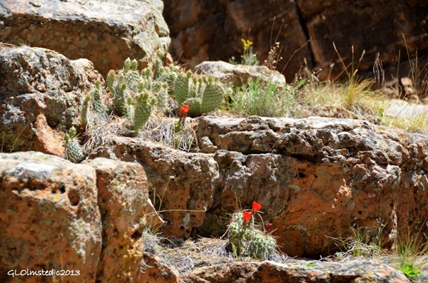 Flowering cactus along Cliff Spring Trail Walhalla Plateau North Rim Grand Canyon National Park Arizona