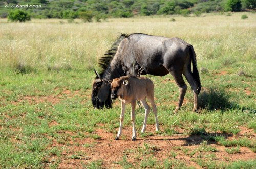 Blue Wildebeests Pilanesberg Game Reserve South Africa