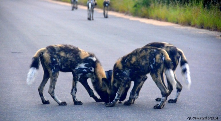 Wild dogs Kruger National