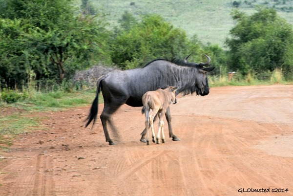 Blue Wildebeests Pilansberg Game Reserve South Africa