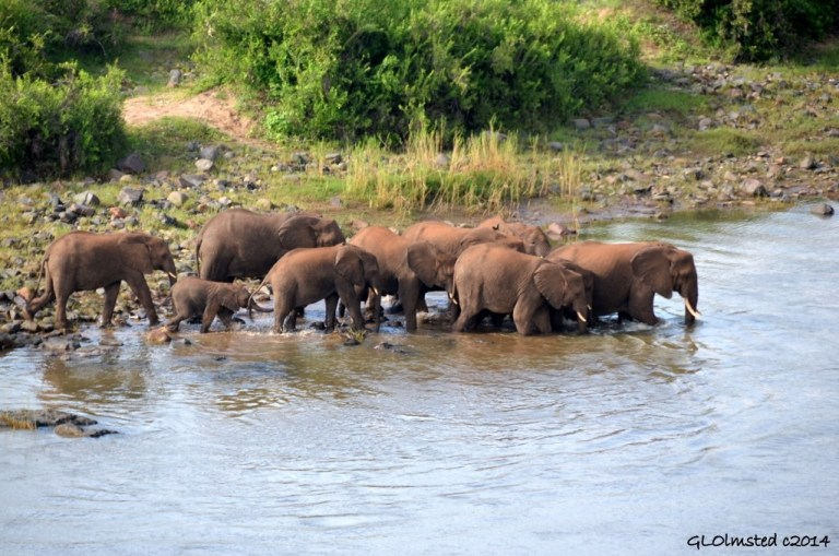 Elephants crossing Oliphants River Kruger National Park South Africa