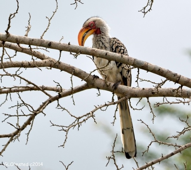 Red-billed Hornbill Kruger National Park South Africa