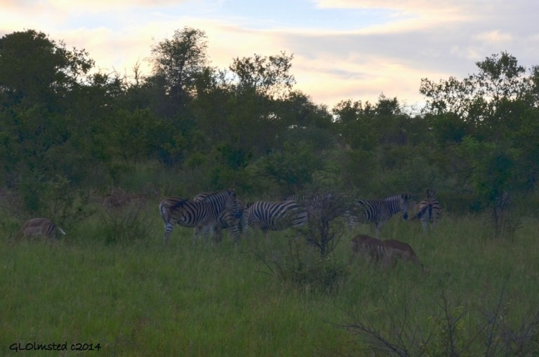 Zebras & Impalas Kruger National Park South Africa