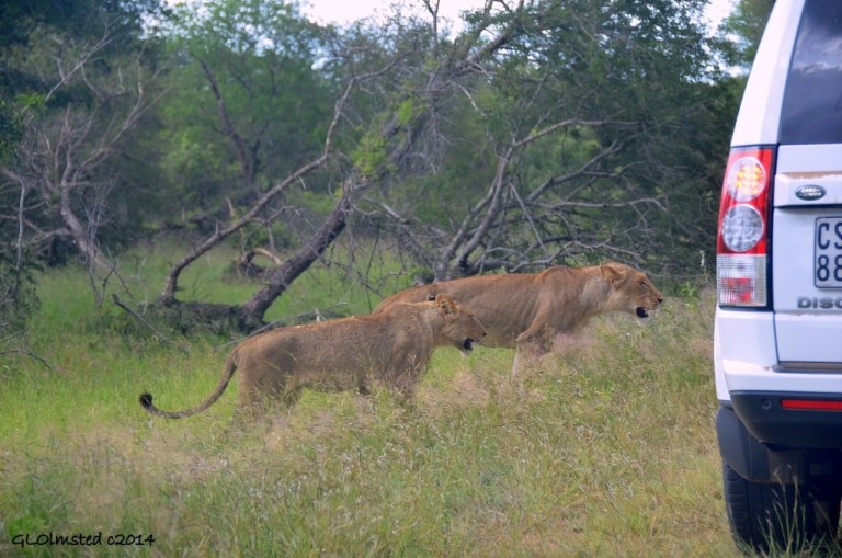 Two lions next to car Kruger National Park South Africa
