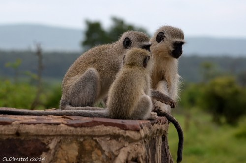 Vervet monkeys Kruger Natonal Park South Africa