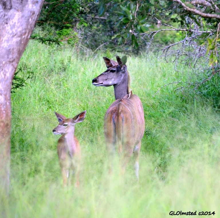 Kudu female and calf Kruger National Park South Africa