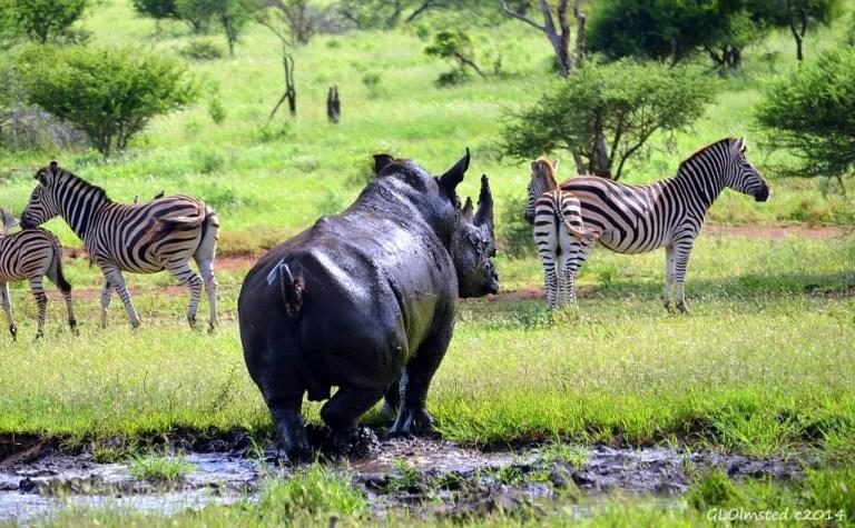 White rhino & zebra Kruger National Park South Africa