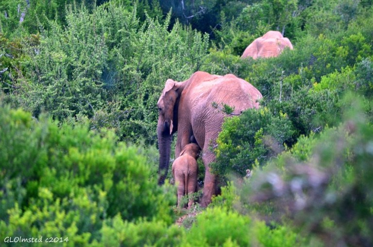 Baby elephant suckling Addo Elephant National Park South Africa