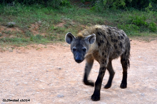 Hyena Addo Elephant National Park South Africa